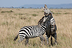 Burchell's, Grant's, Plains, Boehm's or Comman zebra (Equus quagga boehmi), fighting in the Maasai Mara game reserve, Kenya, Africa, September 2012