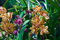 Peach, Purple,  Orchids, Botanical, Gardens, Balboa Park, San Diego, Ca