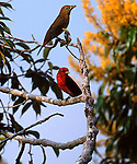 Scarlet tanager, Piranga olivacea, Panama<br /> <br /> Male &amp; female