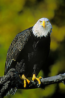 521040047 a captive wildlife rescue bald eagle hailaeetus leucocephalus perches on a tree limb with fall colored trees in background in central colorado united states