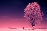 Lone Maple in a Field, Coated with Hoar Frost - Toned Image