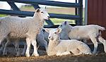 20100710Marie's Lambs