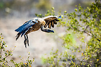South African Vulture coming in for a landing to a tasty buffalo carcass.  Kruger National Park
