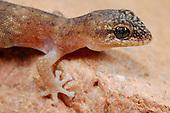 Leaf-toed Gecko head (Haemodracon trachyrhinus), endemic to Socotra, Yemen.