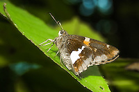 This medium sized skipper was found flying around in the Talquin State Forest near Quincy, Fl.