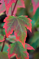 Acer Rubrum Northwood