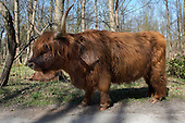 Scottish Highland Cow, Netherlands