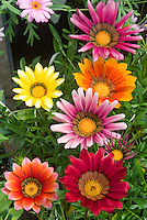 Gazania mix of colors different types together in vivid colour
