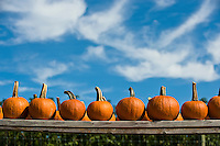 Orange pumpkins lined up on wooden boards