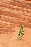 738900006 a single wild desert plant rises from the sand dunes in coral pink sand dunes state park utah