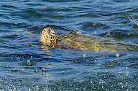 A green sea turtle (honu) takes a breath while feeding during rainfall, Po'ipu, Kaua'i.
