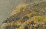 Rough-skinned newt, Taricha granulosa, in larval stage. Mendocino County, California