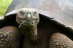 South America, Ecuador, Galapagos islands. Galapagos Tortoise of Santa Cruz island.