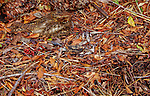 A gray-brown Chuck-will's-widow rests in Autumn leaf litter in Florida.