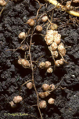 HS33-003a  Pea - root nodules containing nitrogen fixing bacteria