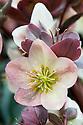 Hellebore (Helleborus ericsmithii Gold Collection 'Silvermoon'), mid March.