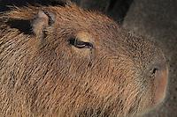 Capybara (Hydrochoerus hydrochaeris), zone Guyane of the new Parc Zoologique de Paris or Zoo de Vincennes, (Zoological Gardens of Paris or Vincennes Zoo), which reopened April 2014, part of the Museum national d'Histoire naturelle (National Museum of Natural History), 12th arrondissement, Paris, France. Picture by Manuel Cohen
