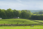 Mount Hope, New York - Thoroughbred horses graze in a field at Hidden Lakes Farm on May 25, 2013.