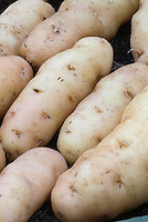 Potatoes 'Anya' (Desiree x Pink Fir Apple hybrid) with distinct eyes and red blush