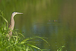 Bare-throated tiger heron, Tigrisoma mexicanum, beside a pond in Carara National Park, Costa Rica