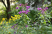Vernonia noveboracensis, Ironweed, in fall autumn bloom with Heliopsis, Impatiens, in garden