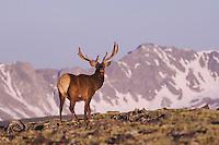Elk, Wapiti, Cervus elaphus,bull in velvet and mountains,Rocky Mountain National Park, Colorado, USA, June 2007