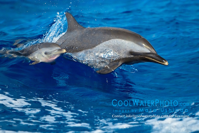 pantropical spotted dolphins, Stenella attenuata, mother and calf, jumping out of boat wake, Kona Coast, Big Island, Hawaii, USA, Pacific Ocean