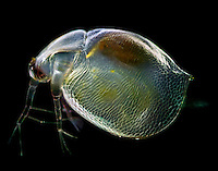 Water Flea (Ceriodaphnia quadrangula). Polarized, LM