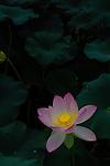 A radiant lotus blossom in Washington, DC's Aquatic Gardens.