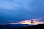 Isolated Scots pine (pinus sylvestris) at sunset, Glenfeshie, Scotland.