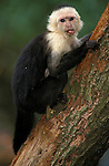 White Throated Capuchin, Cebus capucinus, captive, Central America & Brazil, feeds on grubs under the bark  .Costa Rica....