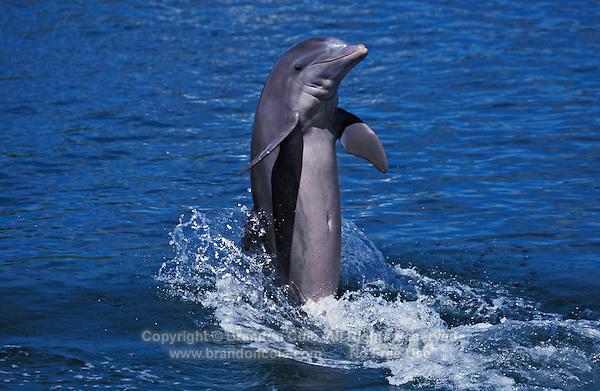 "mt496. Bottlenose Dolphin (Tursiops truncatus), trained captive animal ""tail-walking"". Honduras, Caribbean Sea..Photo Copyright © Brandon Cole. All rights reserved worldwide.  www.brandoncole.com."