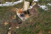 Red Fox (Vulpes vulpes) adult standing at den entrance, Normandy, France