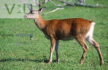 Sitka Black-Tailed Deer. (Odocoileus hemionus sitkensi)