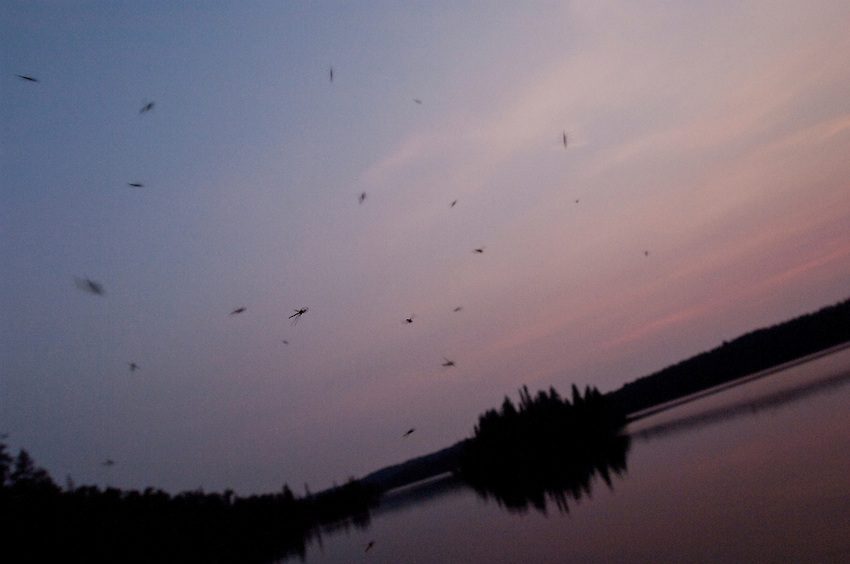 Swarms of flying insects at dusk at Isle Royale National Park.