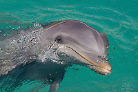 Atlantic Bottlenose Dolphin (Tursiops truncatus), Curacao, Netherlands Antilles, Caribbean.