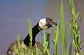 Canada Goose (Branta canadensis) Close up of Canada Goose eating bulrush. Originally introduced to Britain in St James Park, London in the mid 17th century,