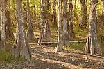 Bald cypress trees (Taxodium distichum) along the Loop Road during dry season in Big Cypress National Preserve, Florida