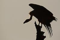 Griffon vulture, Gyps fulvus, from a hide in CAMPANARIOS DE AZÁBA RESERVE, SALAMANCA PROVINCE, CASTILLA Y LEÓN, SPAIN, in the Western Iberia rewilding area