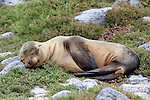 South America, Ecuador, Galapagos, South Plaza Island. Sea LIon resting on rocks and sesuvian.