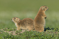 Two Black-tailed Prairie Dogs (Cynomys ludovicianus) outside of their burrow in Theodore Roosevelt National Park, North Dakota, USA
