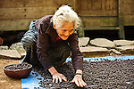 Old woman intent on drying coffee, Wae Rebo village, Flores