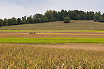 I was struck by the symetry of different crops across these fields as we left Mountain Cove Vineyards.