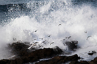 A Snowy egret and a dozen other smaller shore birds called Surfbirds take flight to escape a crashing wave at Bean Hollow State Beach on the California Coast.