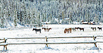 Horses graze in the snow in front of evergreen trees in Montana.