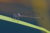 338570015 a wild sooty dancer argia lugens perches on a cattail reed along piru creek in los angeles couny california