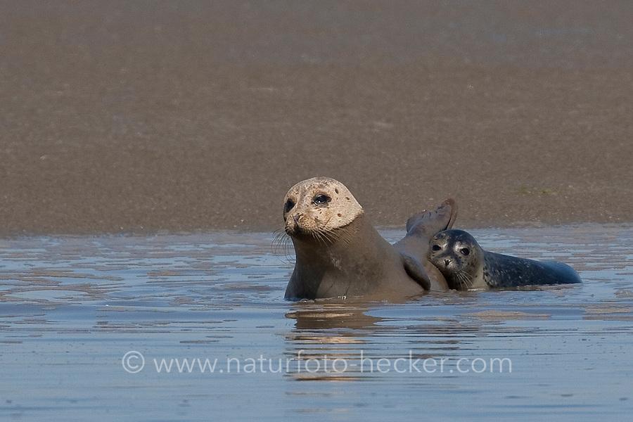 Seehund, Muttertier und Jungtier liegen auf einer Sandbank, Phoca vitulina, harbor seal, common seal