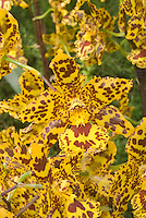 Colmanara Wildcat orchid hybrid flower in dramatic patterning