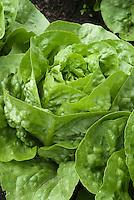 Lettuce 'Maribel' vegetable salad greens growing