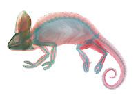 An x-ray of a veiled chameleon (Chamaeleo calyptratus).